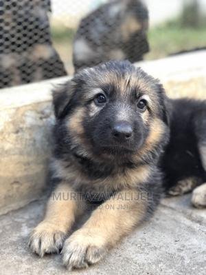 3-6 Month Male Purebred German Shepherd   Dogs & Puppies for sale in Mombasa, Nyali