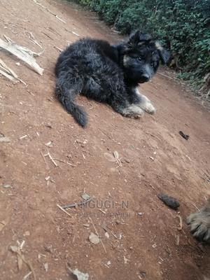 1-3 month Male Purebred German Shepherd   Dogs & Puppies for sale in Kiambu, Kabete