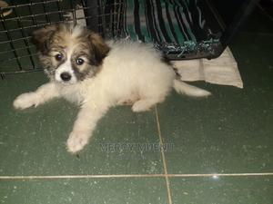 1-3 Month Male Purebred Japanese Spitz | Dogs & Puppies for sale in Mombasa, Shanzu