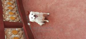 6-12 Month Female Purebred Japanese Spitz | Dogs & Puppies for sale in Nakuru, Lanet
