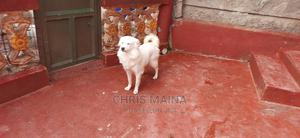 1+ Year Male Purebred Japanese Spitz | Dogs & Puppies for sale in Nakuru, Lanet