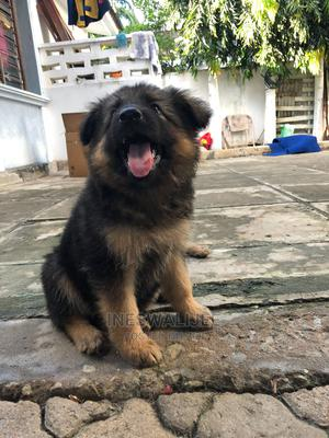 1-3 Month Male Purebred German Shepherd   Dogs & Puppies for sale in Mombasa, Kisauni