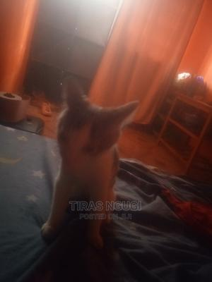 1-3 Month Female Purebred Colorpoint Shorthair | Cats & Kittens for sale in Kiambu, Juja
