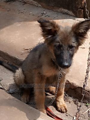 1-3 Month Female Mixed Breed German Shepherd   Dogs & Puppies for sale in Nairobi, Kitisuru