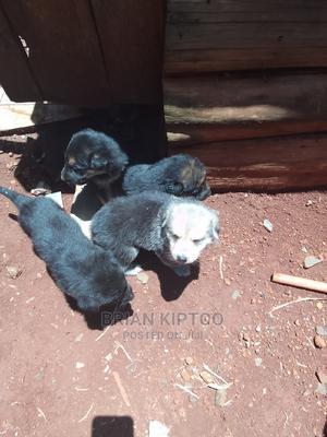 1-3 Month Male Purebred German Shepherd   Dogs & Puppies for sale in Uasin Gishu, Eldoret CBD