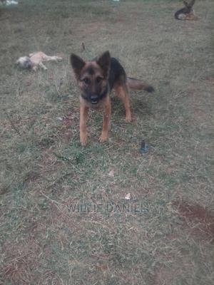 6-12 Month Female Purebred German Shepherd   Dogs & Puppies for sale in Kiambu, Ruaka