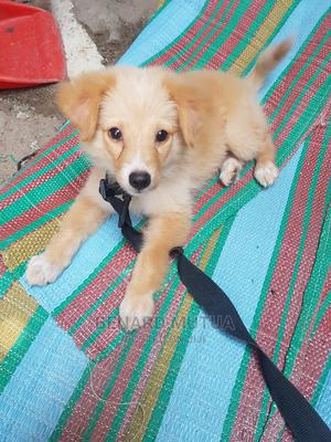 1-3 Month Female Mixed Breed Japanese Spitz | Dogs & Puppies for sale in Mombasa, Bamburi