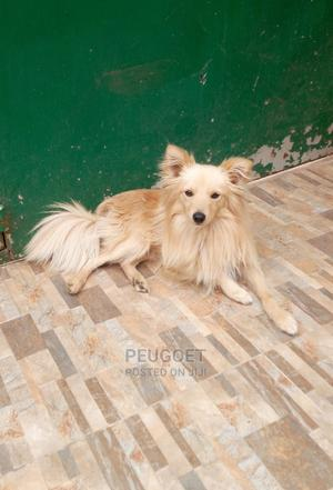 6-12 month Male Purebred Japanese Spitz | Dogs & Puppies for sale in Kajiado, Ongata Rongai