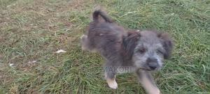 1-3 Month Male Mixed Breed Japanese Spitz   Dogs & Puppies for sale in Nairobi, Ruai