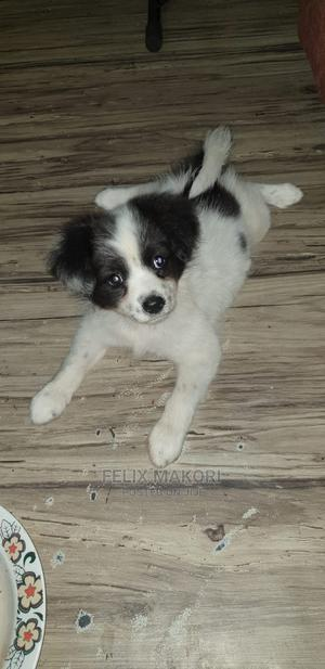 3-6 Month Male Purebred Chihuahua | Dogs & Puppies for sale in Nairobi, Ruai