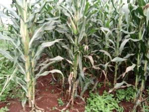 2.5 Acres on Sale at Kapsaang Near Kabenes Tr. Centre. # To   Land & Plots For Sale for sale in Soy, Ziwa