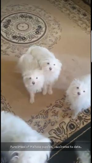 1-3 Month Male Purebred Maltese   Dogs & Puppies for sale in Nairobi, Umoja