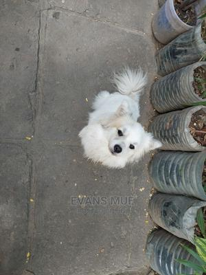 6-12 Month Female Purebred Japanese Spitz | Dogs & Puppies for sale in Mombasa, Kisauni