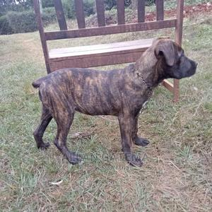 3-6 Month Female Purebred Boerboel | Dogs & Puppies for sale in Embu, Central Ward