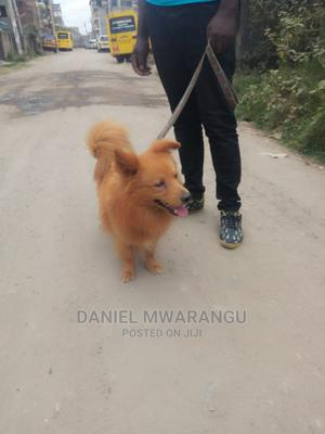 6-12 Month Male Purebred Japanese Spitz | Dogs & Puppies for sale in Nairobi, Donholm