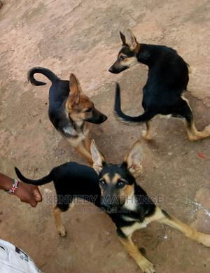 3-6 Month Female Purebred German Shepherd   Dogs & Puppies for sale in Nyeri, Karatina Town