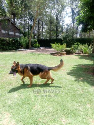 1-3 Month Male Purebred German Shepherd   Dogs & Puppies for sale in Nairobi, Nairobi Central