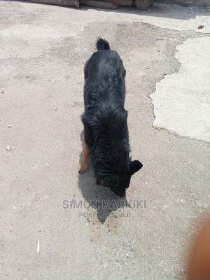 6-12 month Male Purebred German Shepherd   Dogs & Puppies for sale in Nairobi, Dandora