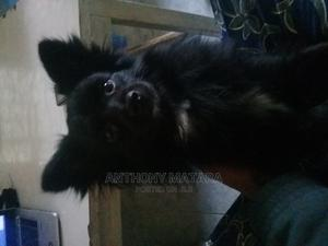 6-12 Month Female Mixed Breed Japanese Spitz | Dogs & Puppies for sale in Nairobi, Umoja