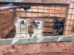 6-12 Month Female Mixed Breed Japanese Spitz | Dogs & Puppies for sale in Trans-Nzoia, Kitale