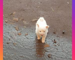 1-3 Month Female Purebred Japanese Spitz | Dogs & Puppies for sale in Uasin Gishu, Eldoret CBD