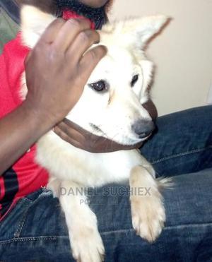 6-12 Month Female Purebred Japanese Spitz | Dogs & Puppies for sale in Nairobi, Dagoretti