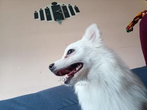 3-6 Month Female Purebred Japanese Spitz | Dogs & Puppies for sale in Nairobi, Karen