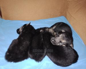 1-3 Month Female Mixed Breed German Shepherd | Dogs & Puppies for sale in Kisumu, Nyando