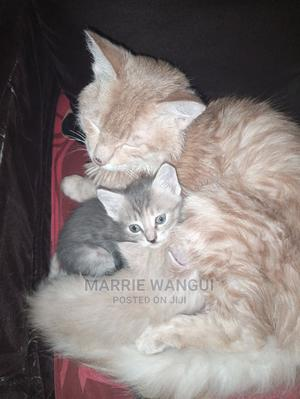 6-12 Month Female Mixed Breed American Shorthair | Cats & Kittens for sale in Nairobi, Kahawa West