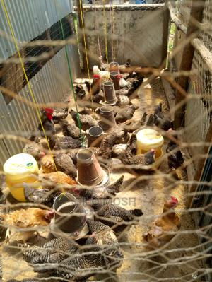 Laying Improved Chicken   Livestock & Poultry for sale in Uasin Gishu, Eldoret CBD