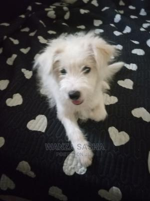 1-3 Month Female Mixed Breed Samoyed | Dogs & Puppies for sale in Mombasa, Bamburi