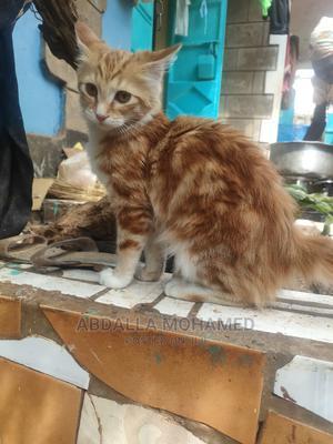 3-6 Month Female Mixed Breed Persian | Cats & Kittens for sale in Kiambu, Kiambu / Kiambu