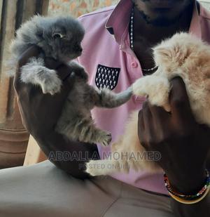 1-3 Month Male Purebred Persian | Cats & Kittens for sale in Kiambu, Kiambu / Kiambu