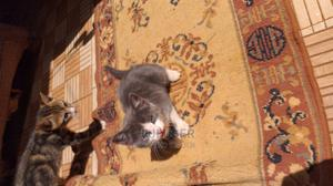 1-3 Month Female Mixed Breed Cat | Cats & Kittens for sale in Kiambu, Kabete