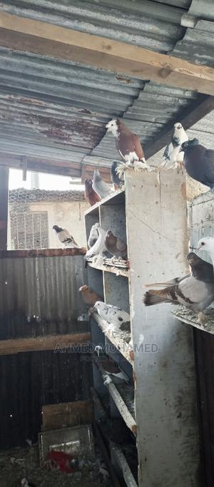Pigeons for Sale   Birds for sale in Mombasa, Jomvu