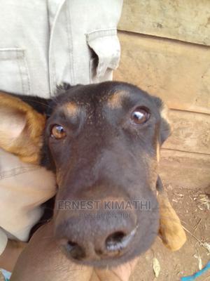 3-6 Month Female Mixed Breed German Shepherd | Dogs & Puppies for sale in Kiambu, Ruiru