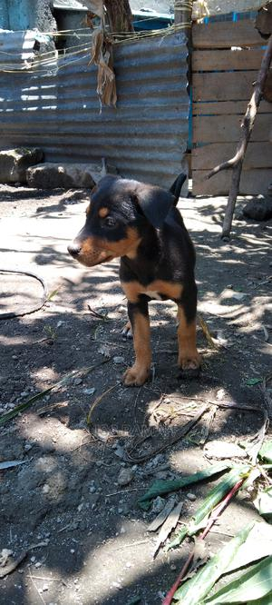 1-3 Month Female Mixed Breed Dog | Dogs & Puppies for sale in Nakuru, Nakuru Town West