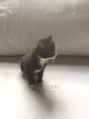 0-1 Month Female Mixed Breed Cat | Cats & Kittens for sale in Nairobi, Kahawa