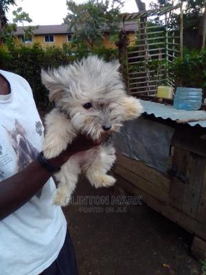 3-6 Month Female Purebred Maltese   Dogs & Puppies for sale in Kisumu, Kisumu Central