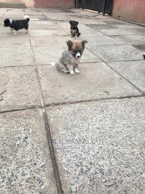 1-3 Month Female Mixed Breed German Shepherd | Dogs & Puppies for sale in Kiambu, Ruiru