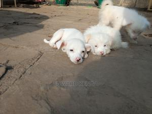 1-3 Month Female Mixed Breed Japanese Spitz | Dogs & Puppies for sale in Nairobi, Nairobi Central