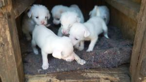 1-3 Month Female Mixed Breed Chihuahua | Dogs & Puppies for sale in Nairobi, Nairobi Central