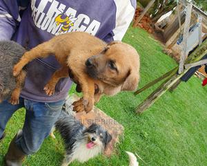 1-3 Month Female Mixed Breed German Shepherd | Dogs & Puppies for sale in Nairobi, Langata