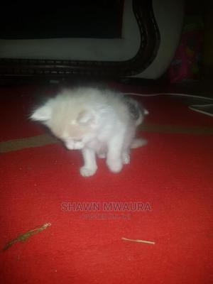 1-3 Month Male Purebred American Shorthair   Cats & Kittens for sale in Kiambu, Kikuyu