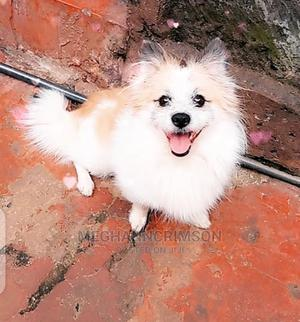 1+ Year Male Purebred Japanese Spitz   Dogs & Puppies for sale in Nairobi, Komarock