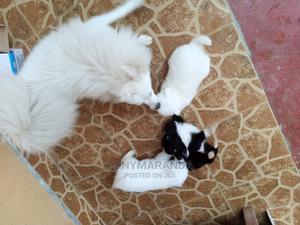 3-6 Month Male Purebred Chihuahua | Dogs & Puppies for sale in Kiambu, Ruiru