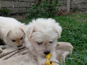 1-3 Month Male Purebred Chihuahua | Dogs & Puppies for sale in Nairobi, Utawala