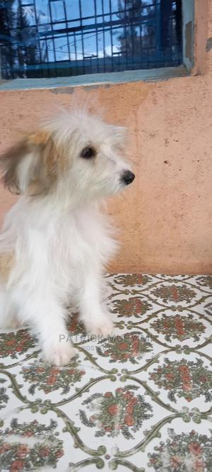 3-6 Month Female Mixed Breed Maltese | Dogs & Puppies for sale in Machakos, Syokimau