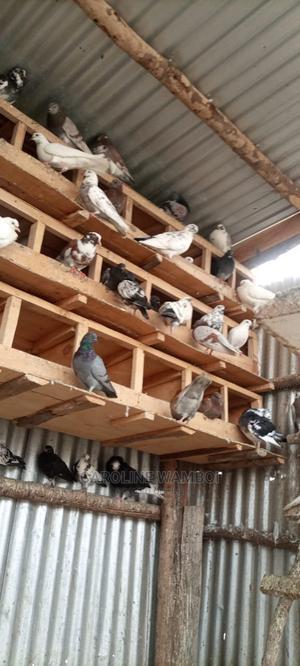 Original Dove   Birds for sale in Kirinyaga, Kiine