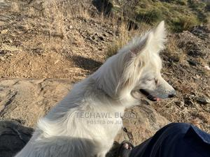 1+ Year Female Purebred Chihuahua | Dogs & Puppies for sale in Nairobi, Utawala
